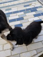 Havanese Puppies for sale in Ivanhoe, CA 93235, USA. price: NA