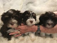 Havanese Puppies for sale in 34935 Prospect Rd, Dade City, FL 33525, USA. price: NA