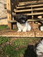 Havanese Puppies for sale in Santa Fe, TN 38482, USA. price: NA