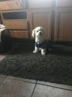 Havanese Puppies for sale in 2180 Buttercup Dr, Florissant, MO 63033, USA. price: NA