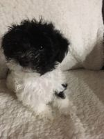 Havanese Puppies for sale in St. Louis, MO, USA. price: NA