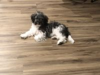Havanese Puppies for sale in Saginaw, MI, USA. price: NA