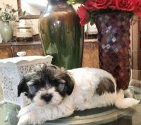 Havanese Puppies for sale in Tacoma, WA, USA. price: NA