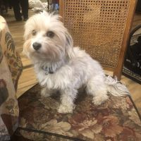 Havanese Puppies for sale in Williston, ND 58801, USA. price: NA