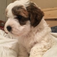 Havanese Puppies for sale in Bandera, TX 78003, USA. price: NA