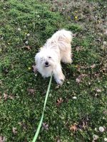 Havanese Puppies for sale in Zebulon, NC 27597, USA. price: NA
