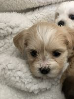 Havanese Puppies for sale in Middletown, OH 45042, USA. price: NA