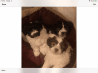 Havanese Puppies for sale in Bellows Falls, Town of Rockingham, VT 05101, USA. price: NA