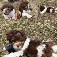 Havanese Puppies for sale in Bellows Falls, VT 05101, USA. price: NA