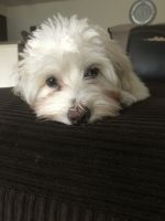 Havanese Puppies for sale in Copper Springs View, Colorado Springs, CO 80916, USA. price: NA