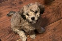 Havanese Puppies for sale in Spring, TX 77373, USA. price: NA