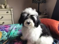Havanese Puppies for sale in Palm Springs, CA, USA. price: NA