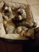 Havanese Puppies for sale in Charlottesville, VA, USA. price: NA