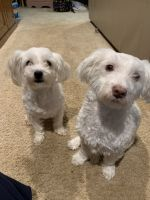 Havanese Puppies for sale in Albemarle, NC 28001, USA. price: NA
