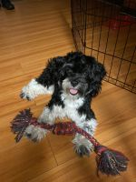 Havanese Puppies for sale in Fort Lauderdale, FL, USA. price: NA