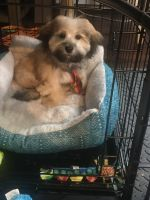 Havanese Puppies for sale in Islip, NY, USA. price: NA