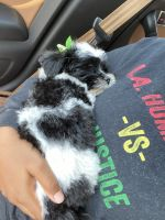 Havanese Puppies for sale in Toledo, OH, USA. price: NA