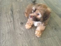 Havanese Puppies for sale in Oxford, AL, USA. price: NA