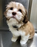 Havanese Puppies for sale in El Paso, TX, USA. price: NA