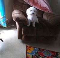 Havanese Puppies for sale in Oklahoma City, OK 73110, USA. price: NA