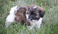 Havanese Puppies for sale in Cheyenne, WY, USA. price: NA