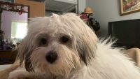 Havanese Puppies for sale in Westchester, FL, USA. price: NA