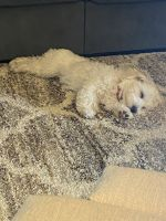 Havanese Puppies for sale in Tyler, TX, USA. price: NA