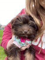Havanese Puppies for sale in Madison, WI, USA. price: NA