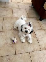 Havanese Puppies for sale in Poinciana, FL, USA. price: NA