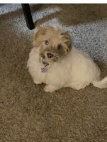 Havanese Puppies for sale in Westland, MI, USA. price: NA