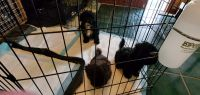 Havanese Puppies for sale in Wichita, KS, USA. price: NA