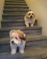 Havanese Puppies for sale in Miami, FL, USA. price: NA