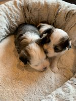 Havanese Puppies for sale in Pittsburgh, PA, USA. price: NA