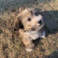 Havanese Puppies Photos