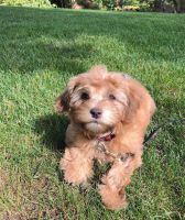 Havanese Puppies for sale in Atlanta, GA, USA. price: NA