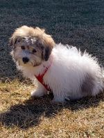 Havanese Puppies for sale in Dundee Township, IL 60118, USA. price: NA