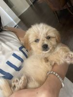 Havanese Puppies for sale in Scottsdale, AZ 85255, USA. price: NA