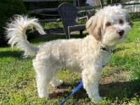 Havanese Puppies for sale in Westminster, MD, USA. price: NA