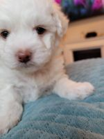 Havanese Puppies for sale in Chicago, IL 60804, USA. price: NA