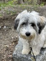Havanese Puppies for sale in Exeter, NH 03833, USA. price: NA