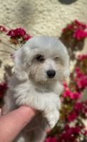 Havanese Puppies for sale in Livonia, MI, USA. price: NA