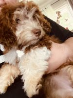 Havanese Puppies for sale in Waterloo, IA 50701, USA. price: NA