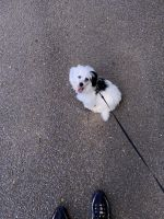 Havanese Puppies for sale in Memphis, TN 38128, USA. price: NA