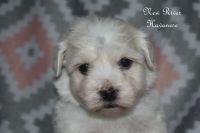 Havanese Puppies for sale in Draper, VA 24324, USA. price: NA