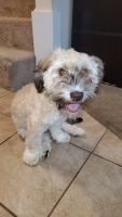 Havanese Puppies for sale in Dover, NH 03820, USA. price: NA