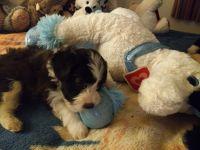 Havanese Puppies for sale in Buckeye, AZ, USA. price: NA