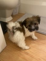 Havanese Puppies for sale in Thornton, CO, USA. price: NA