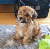 Havanese Puppies for sale in Florida Mall Ave, Orlando, FL 32809, USA. price: NA