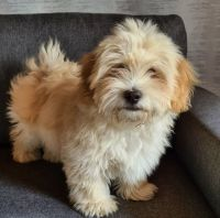 Havanese Puppies for sale in Duncanville, TX, USA. price: NA