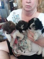 Havapoo Puppies for sale in West Plains, MO 65775, USA. price: NA